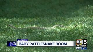 It's baby snake season, and it's happening right in your backyard - Video