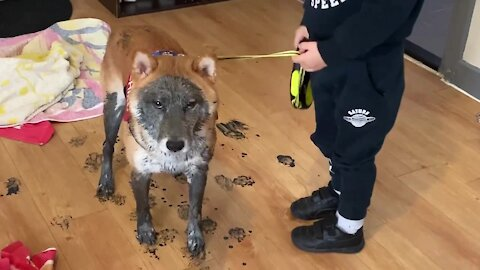 Shiba Inu convinces little boy to let him play in the mud