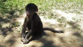 Rescued baby baboon is too adorable