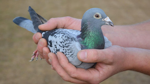 Armando the Racing Pigeon Sold for $1.4 Million