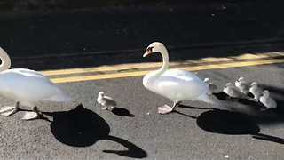 Adorable Family of Swans Seen Walking Down Road in Irish Town - Video