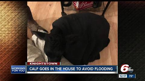 Indiana calf goes in the house to avoid flooding