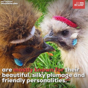 silkie chickens everything you need to know about the breed