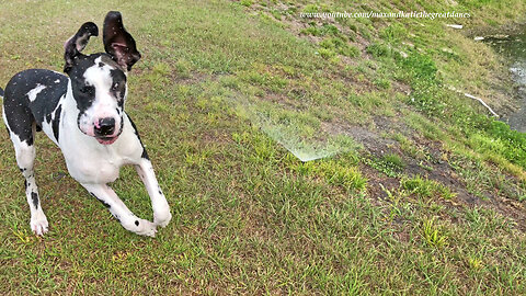Great Dane discovers sprinklers, happily runs through them