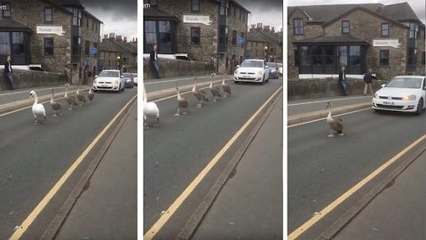 Swans cause traffic jam unaware of cars behind them