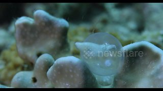 Incredible video shows adorable close-up birth of baby cuttlefish