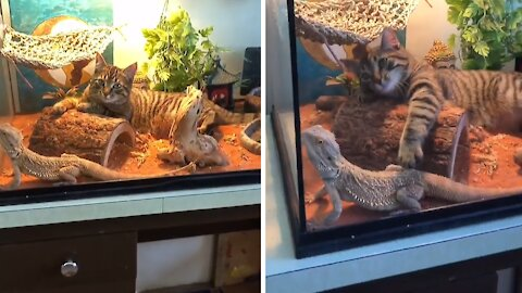 Cat climbs into lizard's terrarium for playtime