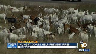Hungry goats help prevent fires - Video