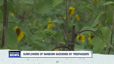 Sunflower field vandalized