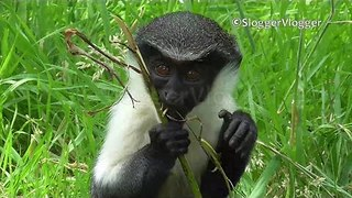 Diana Monkey Loves to Bounce Around - Video