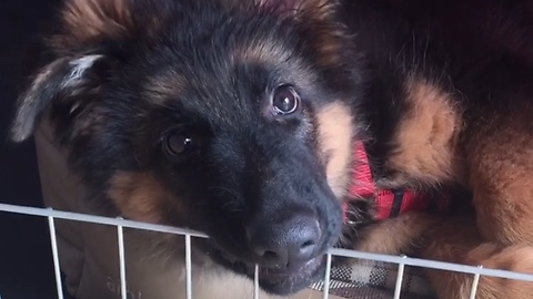 German Shepherd puppy has cutest case of the hiccups