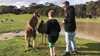 Kangaroo punches boy in the face - Video