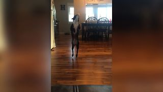 Bouncing Boston Terrier