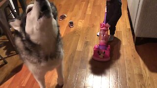 Alaskan Malamute expresses his desire to help vacuum the kitchen
