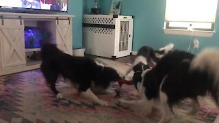 Trio Of Dogs Engage In High-Energy Game Of Tug-Of-War
