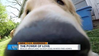 Local residents rescue golden retrievers from China meat trade