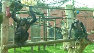 Helping chimps hang on to their wild side - Video