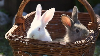 Easter Bunny babies in a basket - Video