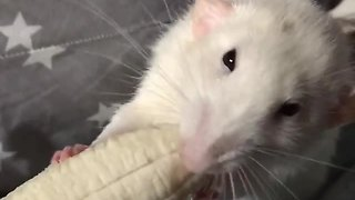 Pet rat chows down on banana - Video