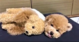 Poodle lovingly cuddles favorite stuffed animal