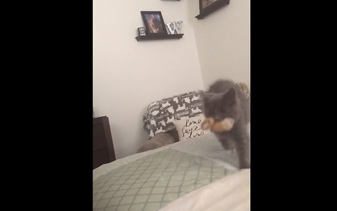 Kitten plays fetch like a pro!
