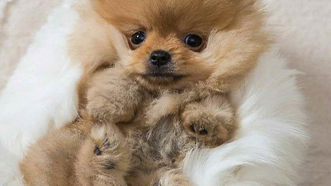 The cute Pomeranian puppy