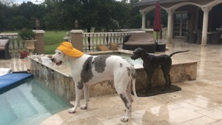 Great Danes wear rain hats during Florida storm