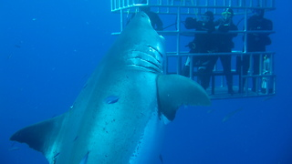 This Shark Is Believed To Be The Biggest One In The World  - Video