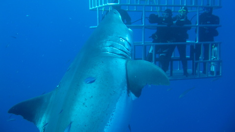 This Shark Is Believed To Be The Biggest One In The World