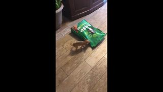 Two-Month-Old Chihuahua Adorably Attacks 15lb Bag of Dog Food - Video