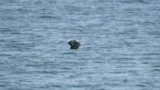 Grey Seal Gets Photobombed By Harbor Porpoise