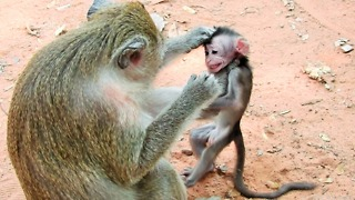 How Monkey Weaning Her Baby Monkey First Time - Video