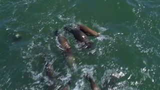 Rare Interaction Seen Between Bottlenose Dolphins and Sea Lions in California - Video