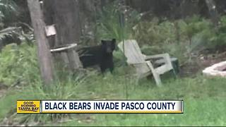 Black bears invading Pasco County neighborhoods in Wesley Chapel and Land O' Lakes - Video