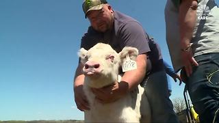 Wisconsin Albino Calf Steals Hearts