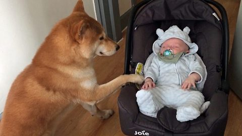 Family find perfect babysitter as their dog takes on a number of adorable childcare tasks