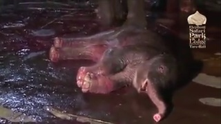 Wonderful Elephant Mother Giving Birth In Bali - Video