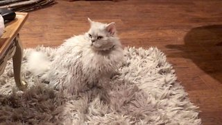 Perfect Cat-ouflage: Furry Feline Merges Perfectly With Family's Thick Rug