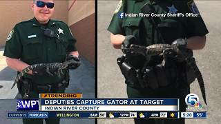 Baby gator found near Target in Indian River County - Video