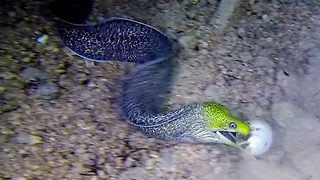 Hungry Eel snares puffer fish - Video