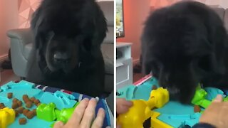 Newfoundland plays 'Hungry Hungry Hippos' but with real food