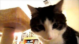 Two Legged Cat Demonstrates Running and Climbing up Scratch Tower - Video