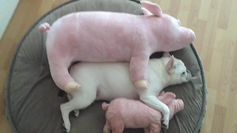 French Bulldog sleeps with his stuffed pigs