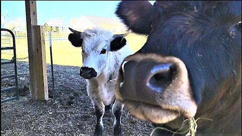 Rescued cows are adorably curious about the latest sanctuary arrival
