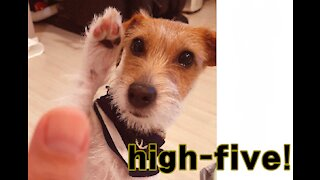 Jack Russell is extremely good at giving high-fives