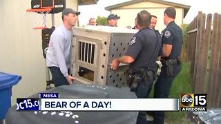 Mesa neighborhood reacts to bear sighting - Video