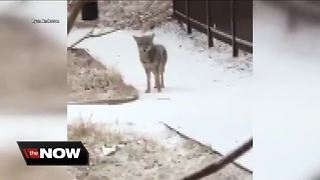 Coyote spotted near UWM dorm - Video