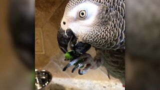 Powerful parrot beak delicately eats a tasty salad