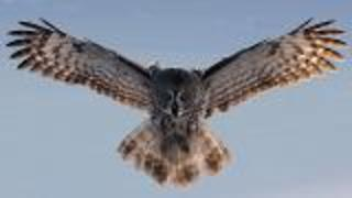 Studying Owl Wings - Video