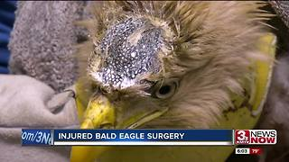 Bald eagle undergoes surgery - Video